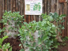 Hand-drawn posters in Kibera instruct users on how to create a sack garden.